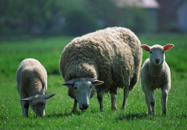 Moutons pré